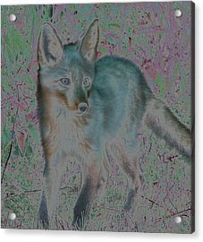Acrylic Print featuring the photograph Spirit Fox by Aurora Levins Morales