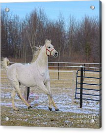 Spirited Horse Acrylic Print by Kathleen Struckle