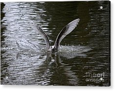 Splash Landing Acrylic Print by Erica Hanel