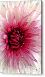 Splash Of Pink Acrylic Print by Deb Halloran