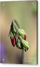 Acrylic Print featuring the photograph Split Pea by Joy Watson