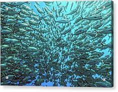 Splitted School Of Jackfish Acrylic Print by Henry Jager