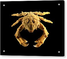 Sponge Crab Acrylic Print by Science Photo Library
