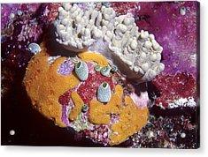 Sponge Head Acrylic Print
