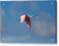 Acrylic Print featuring the photograph Spoonie In Flight by John M Bailey