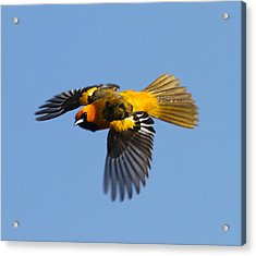 Spot Breasted Oriole In Flight Acrylic Print