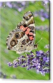 Spotted Butterfly Acrylic Print by Kim Bemis