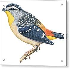 Spotted Diamondbird Acrylic Print by Anonymous