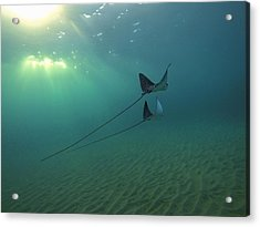 Spotted Eagle Rays During Sunset Acrylic Print by Brad Scott