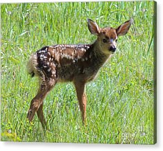 Spotted Fawn  Acrylic Print by Michele Penner