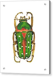 Spotted Flour Beetle Acrylic Print by Cindy Hitchcock