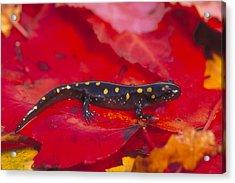 Spotted Salamander Acrylic Print