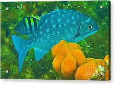 Spotted Surgeon Fish Acrylic Print by John Malone