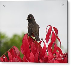 Spotted Towhee In The Rain Acrylic Print