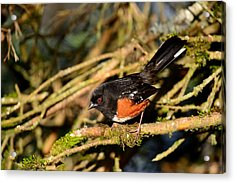 Spotted Towhee Acrylic Print by Kathy King