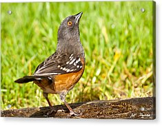 Spotted Towhee Looking Up Acrylic Print