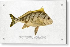 Spottedtail Morwong Acrylic Print