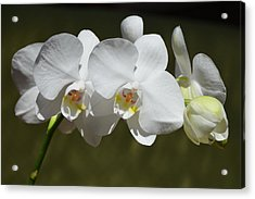 Spray Of Beautiful White Orchids Acrylic Print