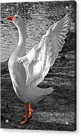 Spread Your Wings B And W Acrylic Print by Lisa Phillips