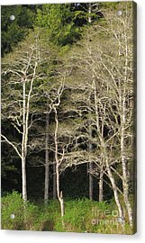 Spring Alders Acrylic Print by Frank Townsley
