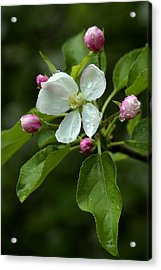 Acrylic Print featuring the photograph Spring Apple Blossom Encircled By Pink Buds by Gene Walls