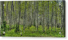 Spring Aspens Acrylic Print by John McArthur