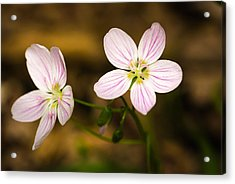 Spring Beauty Acrylic Print by Thomas Pettengill