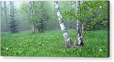 Spring Birch Acrylic Print by Bill Morgenstern