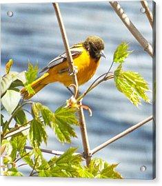 Spring Bird  Acrylic Print by Lisa Roy