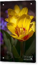 Spring Bloom In Yellow Acrylic Print by Julie Palencia