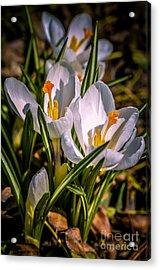 Spring Bloom Acrylic Print by Julie Palencia