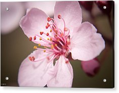 Spring Blooms 6697 Acrylic Print by Timothy Bischoff