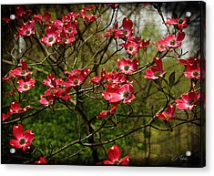 Acrylic Print featuring the photograph Pink Spring Dogwood Blooms  by James C Thomas
