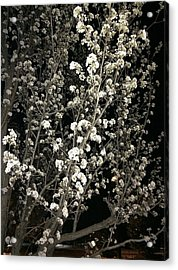 Spring Blossoms Glowing Acrylic Print