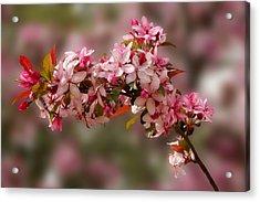 Cheery Cherry Blossoms Acrylic Print