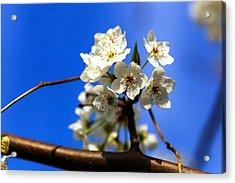Spring Blossoms Acrylic Print by Sennie Pierson