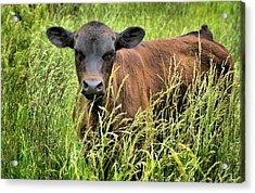 Spring Calf In Grassy Pasture Acrylic Print by Virginia Folkman