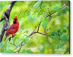 Spring Cardinal Acrylic Print by Darren Fisher