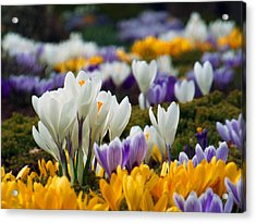 Spring Crocus Acrylic Print by Dianne Cowen