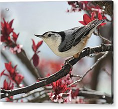 Spring Colors Nuthatch Acrylic Print by Lara Ellis