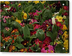 Spring Colour IIi Acrylic Print by Maeve O Connell
