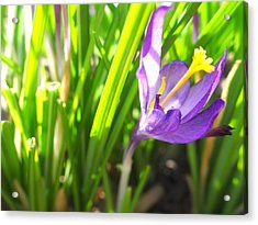 Spring Crocus Acrylic Print