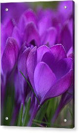 Spring Crocuses Acrylic Print by Peggy Collins