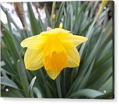 Spring Daffodil Acrylic Print