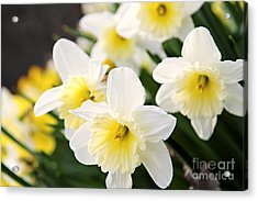 Spring Daffodils Acrylic Print by Elena Elisseeva