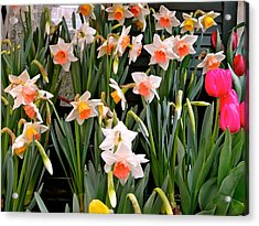 Acrylic Print featuring the photograph Spring Daffodils by Ira Shander