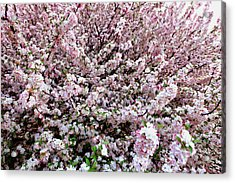 Spring Flowering Tree Acrylic Print by Lanjee Chee
