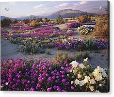 Spring Flowers Carpet Anza Borrego State Park Acrylic Print by Ron and Patty Thomas