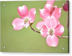 Spring Harbinger Acrylic Print