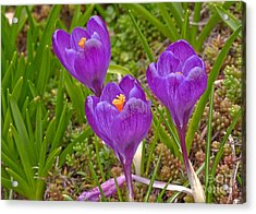 Acrylic Print featuring the photograph Spring Has Sprung Crocus Flowers by Valerie Garner